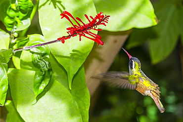 Adult male Xantus's hummingbird (Hylocharis xantusii), Todos Santos, Baja California Sur, Mexico, North America