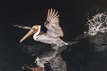 An adult brown pelican (Pelecanus occidentalis) at night near Isla Santa Catalina, Baja California Sur, Mexico, North America
