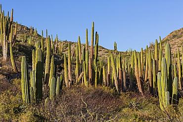 Cardon cactus (Pachycereus pringlei), on Isla Santa Catalina, Baja California Sur, Mexico, North America