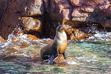 Adult California sea lion (Zalophus californianus), at Los Islotes, Baja California Sur, Mexico, North America