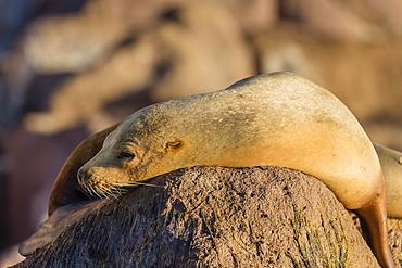 Adult female California sea lion (Zalophus californianus), at Los Islotes, Baja California Sur, Mexico, North America