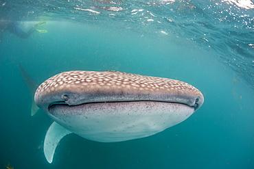 Whale shark (Rhincodon typus,) filter feeding underwater off El Mogote, near La Paz, Baja California Sur, Mexico, North America