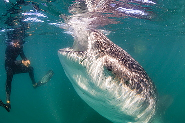 Whale shark (Rhincodon typus) underwater with snorkelers off El Mogote, near La Paz, Baja California Sur, Mexico, North America