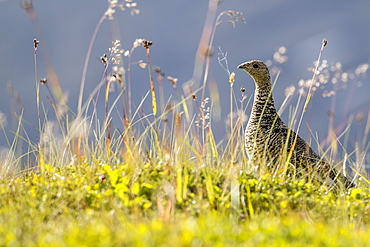 An adult female willow ptarmigan (Lagopus lagopus) in summer plumage on the Snaefellsnes Peninsula, Iceland, Polar Regions