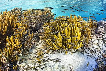 A school of striped catfish (Plotosus lineatus) on Sebayur Island, Komodo National Park, Flores Sea, Indonesia, Southeast Asia, Asia