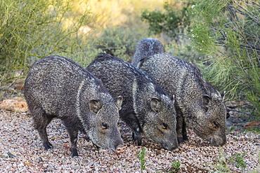 Adult javalinas (collared peccary) (Pecari tajacu) in the Sonoran Desert suburbs of Tucson, Arizona, United States of America, North America