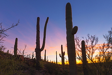 Giant saguaro cactus (Carnegiea gigantea) at dawn in the Sweetwater Preserve, Tucson, Arizona, United States of America, North America