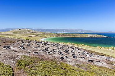Gentoo penguin (Pygoscelis papua) breeding colony on the slopes of Carcass Island, Falkland Islands, South America