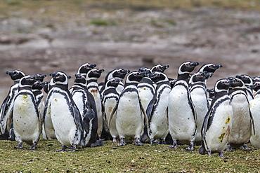 Magellanic penguin (Spheniscus magellanicus) breeding colony on Carcass Island, Falkland Islands, South America