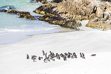 Adult Magellanic penguins (Spheniscus magellanicus) on the beach at Gypsy Cove, East Island, Falkland Islands, South America