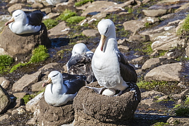 Black-browed albatross (Thalassarche melanophris) on egg in breeding colony on Saunders Island, Falkland Islands, South America