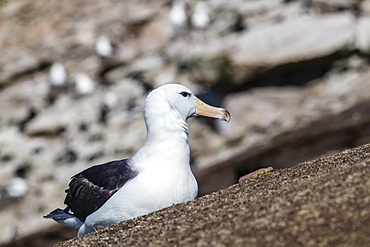 Black-browed albatross (Thalassarche melanophris) in breeding colony on Saunders Island, Falkland Islands, South America