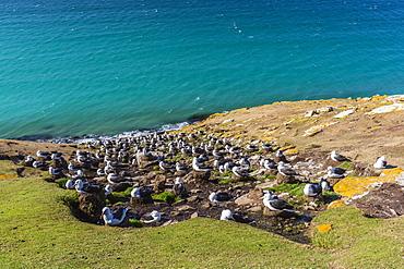 Black-browed albatross (Thalassarche melanophris) breeding colony on Saunders Island, Falkland Islands, South America