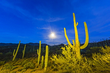 Full moon on saguaro cactus (Carnegiea gigantea), Sweetwater Preserve, Tucson, Arizona, United States of America, North America