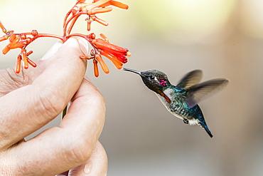 A wild adult male bee hummingbird (Mellisuga helenae), attracted to hand-held flower near Playa Larga, Cuba, West Indies, Caribbean, Central America