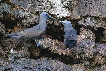 Brown noddy (Anous stolidus) pair at nest site on Floreana Island, Galapagos, Ecuador, South America
