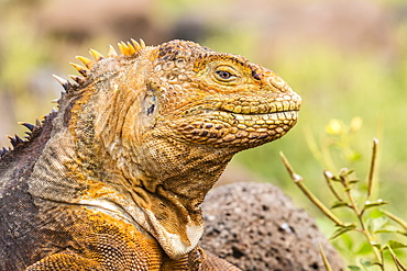 An adult Galapagos land iguana (Conolophus subcristatus), head detail, North Seymour Island, Galapagos, Ecuador, South America