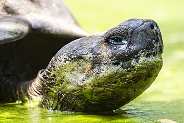 Wild Galapagos giant tortoise (Geochelone elephantopus) in mud pit on Santa Cruz Island, Galapagos, Ecuador, South America