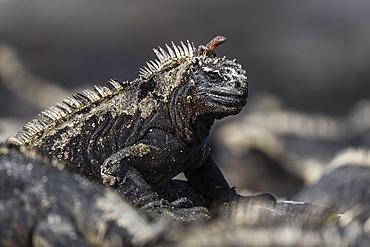 The endemic Galapagos marine iguana (Amblyrhynchus cristatus), with lava lizard, Fernandina Island, Galapagos, UNESCO World Heritage Site, Ecuador, South America