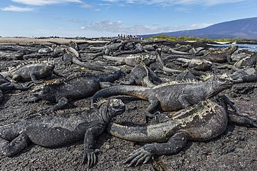 The endemic Galapagos marine iguana (Amblyrhynchus cristatus) basking on Fernandina Island, Galapagos, UNESCO World Heritage Site, Ecuador, South America