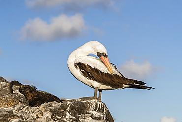 Adult Nazca booby (Sula granti) at Punta Suarez, Isla Espanola, Galapagos, UNESCO World Heritage Site, Ecuador, South America
