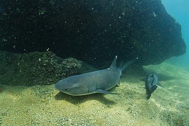 Whitetip reef shark (Triaenodon obesus) underwater at Sombrero Chino, Galapagos, Ecuador, South America