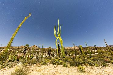 Boojum (Fouquieria columnaris) tree under night sky, Rancho Santa Inez, Baja California, Mexico, North America