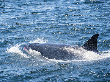 Transient killer whale (Orcinus orca) surfacing with fresh kill, Monterey Bay National Marine Sanctuary, California, United States of America, North America