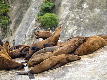 Steller sea lion (Eumetopias jubatus), haul out, South Marble Island, Glacier Bay National Park, Alaska, United States of America, North America