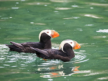 A pair of tufted puffins (Fratercula cirrhata), South Marble Island, Glacier Bay National Park, Southeast Alaska, United States of America, North America