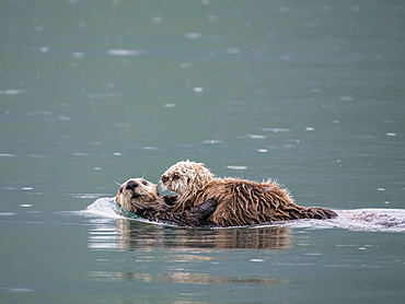 A mother sea otter (Enhydra lutris) with her pup in Reid Inlet, Glacier Bay National Park, Southeast Alaska, United States of America, North America