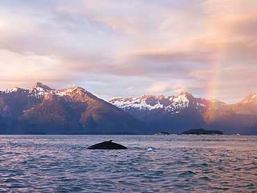 Humpback whale (Megaptera novaeangliae) at sunset with rainbow in Glacier Bay National Park, Alaska, United States of America, North America