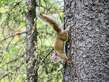 An adult American red squirrel (Tamiasciurus hudsonicus), Leigh Lake, Grand Teton National Park, Wyoming, United States of America, North America