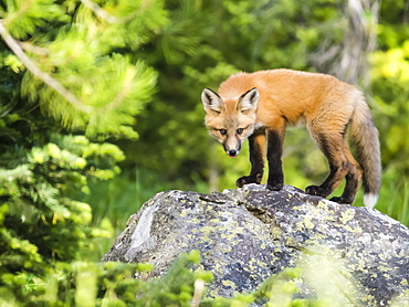 Red fox kit (Vulpes vulpes), about two months old near its den at Leigh Lake, Grand Teton National Park, Wyoming, United States of America, North America