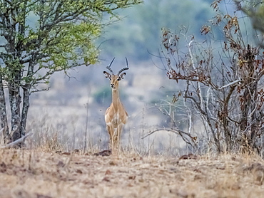 An adult male impala (Aepyceros melampus), South Luangwa National Park, Zambia, Africa