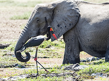 An adult saddle-billed stork (Ephippiorhynchus senegalensis) and elephant, South Luangwa National Park, Zambia.