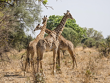 Adult male Thornicrofts giraffes (Giraffa camelopardalis thornicrofti), South Luangwa National Park, Zambia, Africa