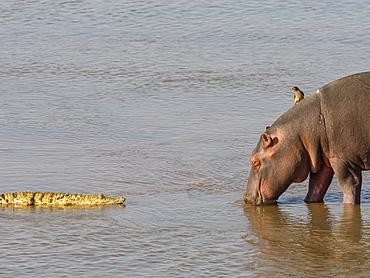 Hippopotamus (Hippopotamus amphibius), with Nile crocodile in South Luangwa National Park, Zambia, Africa