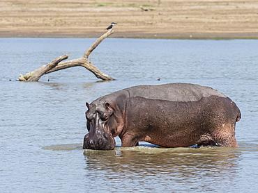 Hippopotamus (Hippopotamus amphibius), South Luangwa National Park, Zambia, Africa