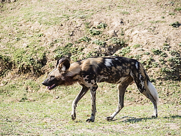 A Cape wild dog (Lycaon pictus pictus), listed as Endangered, South Luangwa National Park, Zambia, Africa