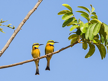 Adult little bee-eaters (Merops pusillus), near the Luangwa River in South Luangwa National Park, Zambia, Africa