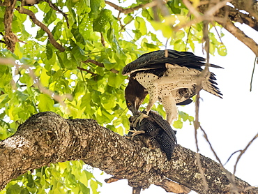 An adult martial eagle (Polemaetus bellicosus), with a helmeted guineafowl, South Luangwa National Park, Zambia, Africa