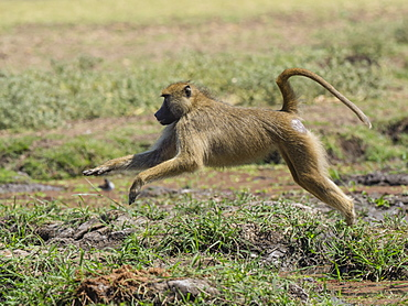 An adult yellow baboon (Papio cynocephalus) leaping in South Luangwa National Park, Zambia, Africa