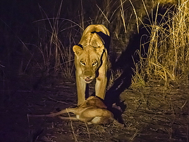 A collared adult lioness (Panthera leo), with an impala kill at night in South Luangwa National Park, Zambia, Africa
