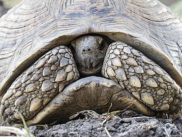 An adult leopard tortoise (Stigmochelys pardalis), South Luangwa National Park, Zambia, Africa