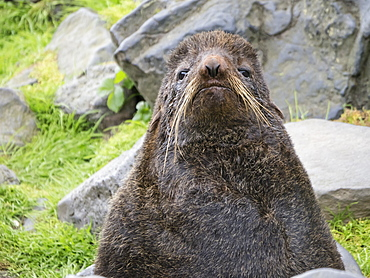 Adult bull northern fur seal (Callorhinus ursinus) on St. Paul Island, Pribilof Islands, Alaska, United States of America, North America