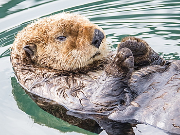 An adult sea otter (Enhydra lutris) resting on its back in the harbor at Kodiak, Kodiak Island, Alaska, United States of America, North America