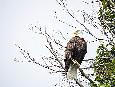 Adult bald eagle (Haliaeetus leucocephalus), on perch in Geographic Harbor, Katmai National Park, Alaska, United States of America, North America