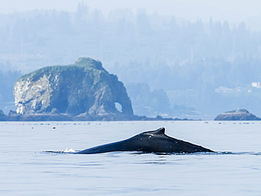 Adult humpback whale (Megaptera novaeangliae), surfacing off Kodiak Island, Alaska, United States of America, North America