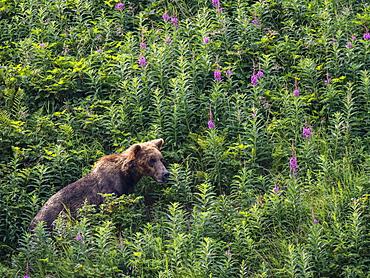 An adult brown bear (Ursus arctos), in Geographic Harbor, Katmai National Park, Alaska, United States of America, North America